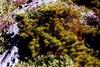 Dwarf_pitch_pine_1
